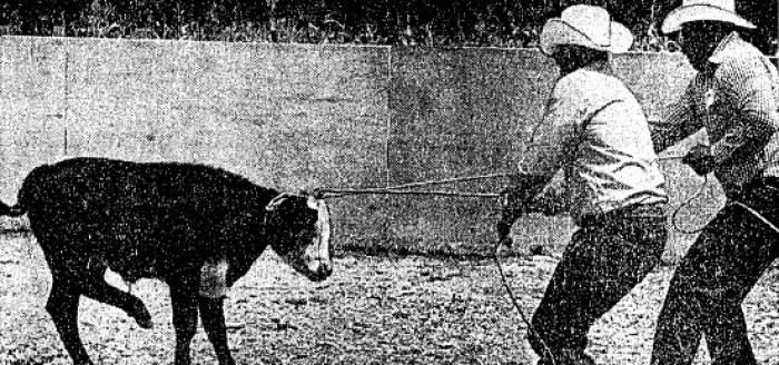 Two cowboys pictured on the right roping a bull calf that is resisting capture on the left.