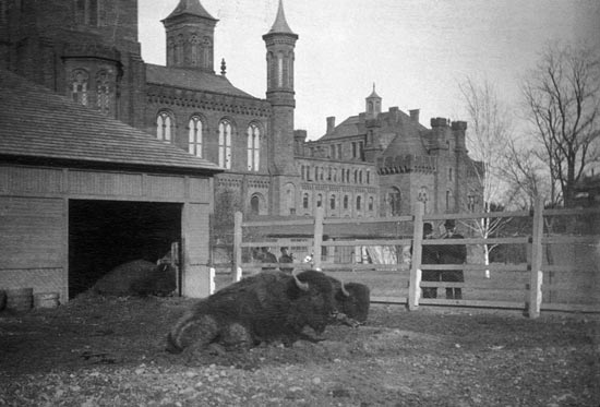 Bison relaxing in their pen in front of the Smithsonian Castle in the 1880s. (Photo source: Smithsonian Archives)