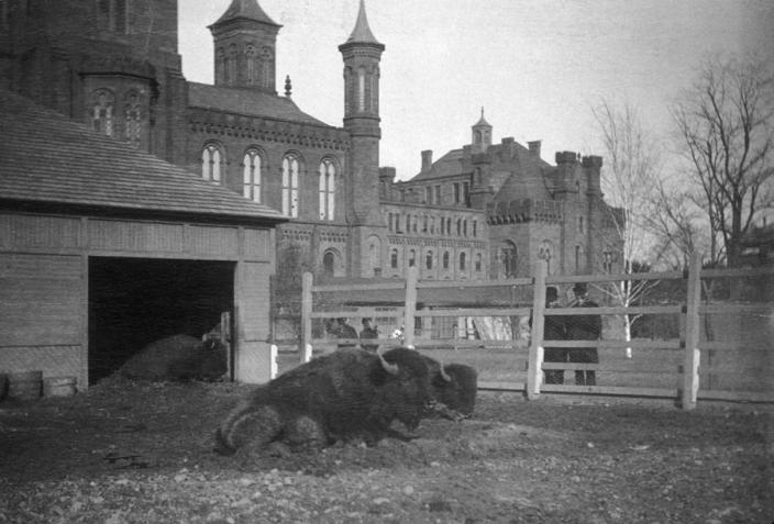 Two bison in front of the Smithsonian Castle, downtown Washington, D.C., circa 1880's. The bison were used as models for Smithsonian Institution taxidermists and were part of the Live Animal Collection, forerunner to the National Zoo. (Photo source: Smithsonian Archives)