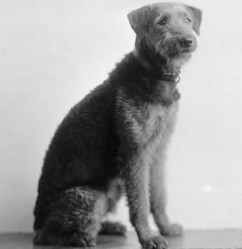 """Laddie Boy,"" President Harding's Airedale Terrier, immediately catapulted to stardom as he captured hearts of local and national admirers alike. (Photo credit: Library of Congress)"