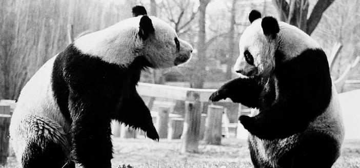 Ling-Ling (left) and Hsing-Hsing, the National Zoological Park's giant pandas, playing in their outside enclosure in August 1985, by Jessie Cohen (Smithsonian Institution Archives, Negative Number: 96-1378)