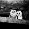 "Owls, named ""Increase"" and ""Diffusion"", who lived in the West Tower of the Smithsonian Institution Building, perch on a ledge. (Source: Smithsonian)"