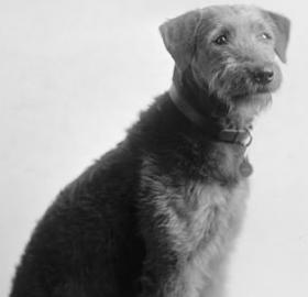 """Laddie Boy"" immediately catapulted to stardom as he captured hearts of local and national admirers alike. (Photo credit: Harris & Ewing Photography Collection, Library of Congress)"